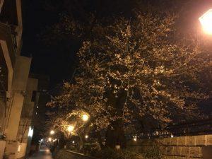 2018年3月28日の福井の桜